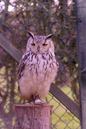 Chestnuts Bed & Breakfast : Clyde our Bengal Eagle Owl