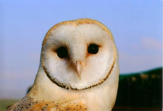 Chestnuts Bed & Breakfast : One of our beautiful Barn Owls