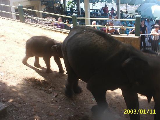Pinnawala, Sri Lanka: ready for a bath