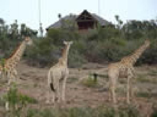Addo Afrique Estate: Resident Giraffe at Addo Afrique