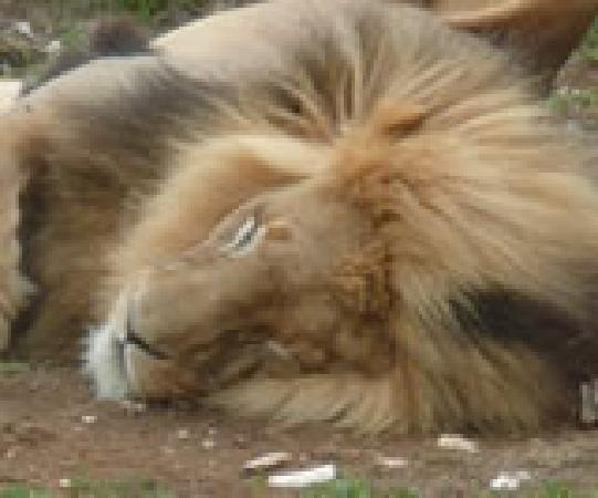 Addo Afrique Estate: African Lions