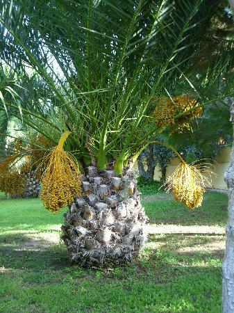 Kustur Club Holiday Village: Palmier des jardins du Club