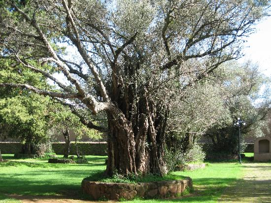 Patzcuaro, Mexiko: Ancient olive trees on grounds of former Franciscan compound in Tzinstunzan