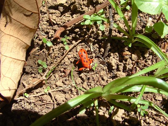 Bocas del Toro Province, Panama: Red Frog