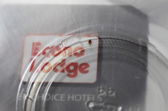 Econo Lodge: Ouch ... Your sleeping companion!  (Bed Bug Nymph)