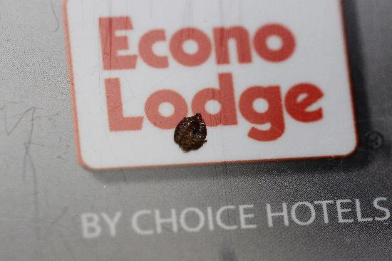 Econo Lodge: Adult Bed Bug that I managed to kill