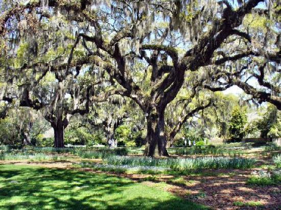 Brookgreen Gardens: Baum mit Spanish Moss