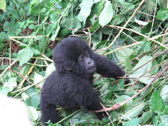 Hills View Guesthouse: Gorilla Trek