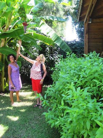 Albero di banane nel giardino la mer foto di majesty for Albero di banane
