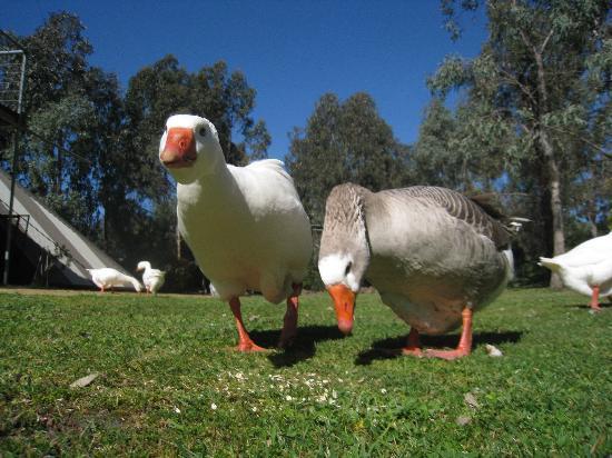 Grampians Getaway Resort : Hungry geese