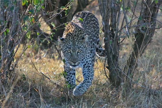 Leopard early morning at Mara Bush camp