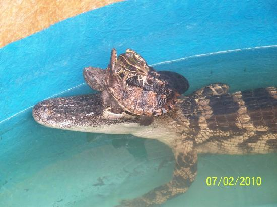 Hold a baby alligator! - Picture of AirBoat Rides at Midway ...