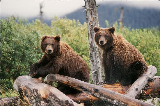 Anchorage, AK: Brown Bears at the Alaska Wildlife Conservation Center