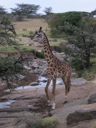 Porini Mara Camp : we also saw a baby giraffe that was only a few weeks old!