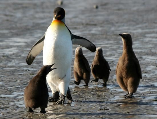 East Falkland, Falkland Islands: King penguin taking chicks for a stroll, Bluff Cove Lagoon