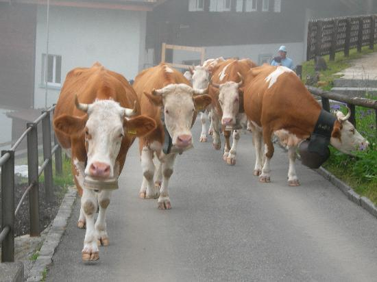 Hotel Bellevue: cows going to summer pasture