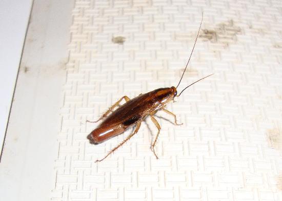 Hotel Edward Paddington: cockroach in bath