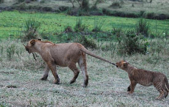 Little Governors' Camp : playful lion cubs