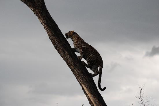 Little Governors' Camp : leopard climbing a tree