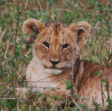 Little Governors' Camp : one of the Marsh pride lion cubs!
