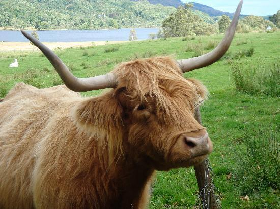 Hairy Coo Foto Di The Hairy Coo Free Scottish