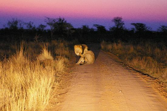 Mhondoro Game Lodge: Lion, after sunset