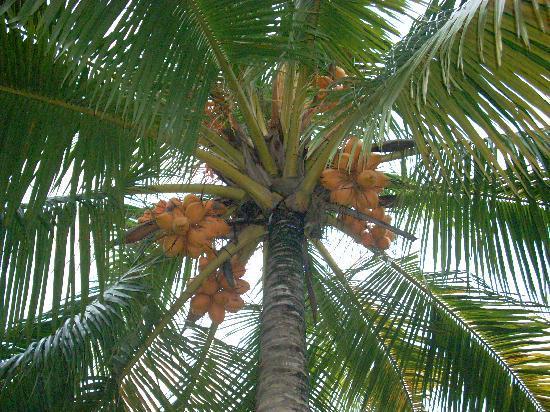 Banana Garden: Eine King Cocos Palme