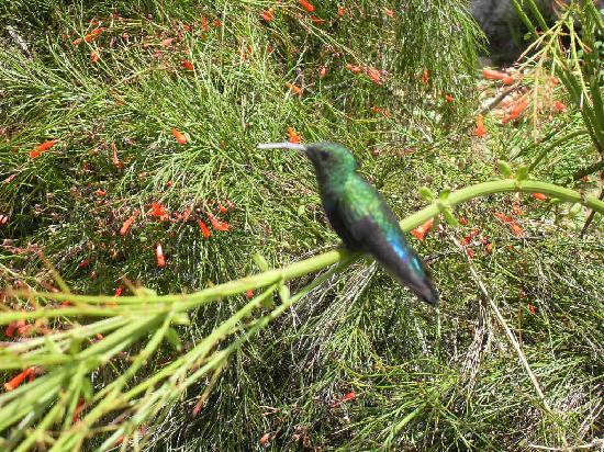 Cocobay Resort: One of the many humming birds at the Resort