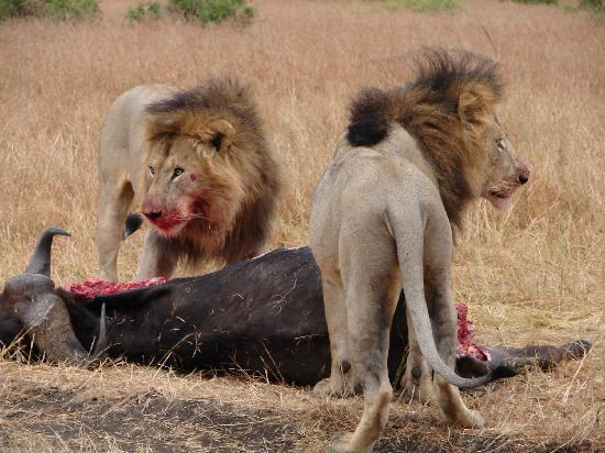 Wildlife Kenya Safaris - Day Trips: Lions with there kill!