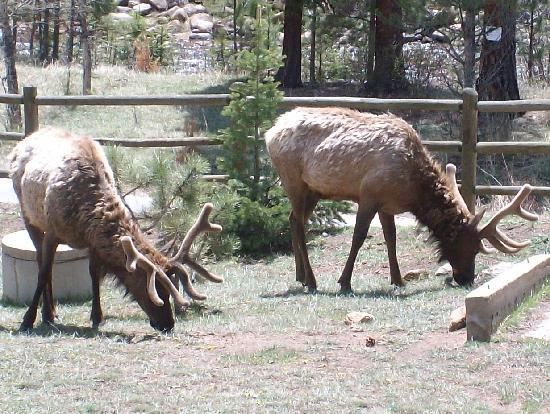 Amberwood: Elk right outside your doorstep