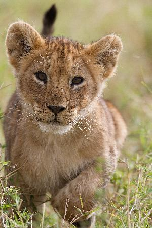 Little Governors' Camp : lion cub from marsh pride