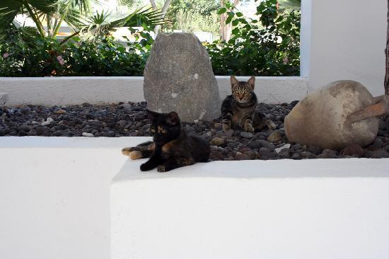 Santorini Kastelli Resort: Cats, lounging by the pool
