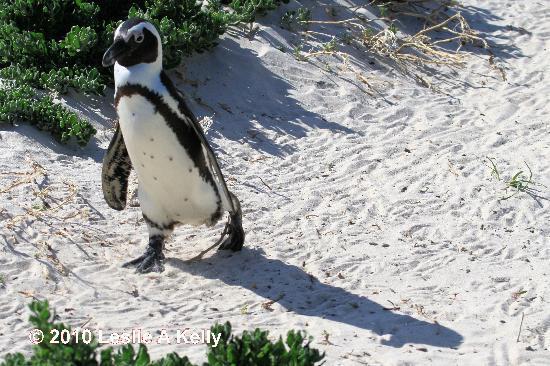 Boulders Beach: Boulder Bay African Penguin