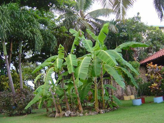 Acuarium Resort Hotel: Plantain trees