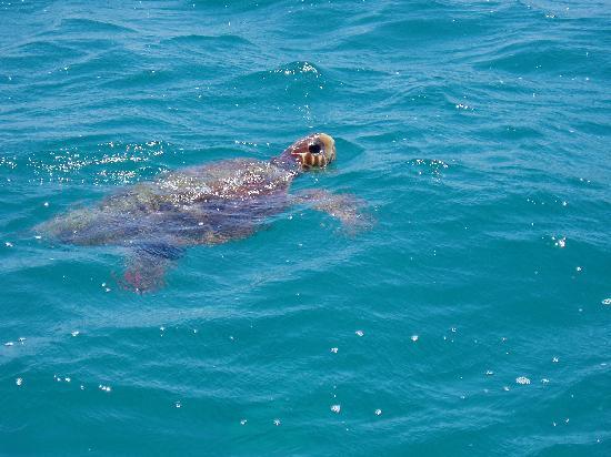 Λίμνη Κεριού, Ελλάδα: Famous caretta-caretta turtle