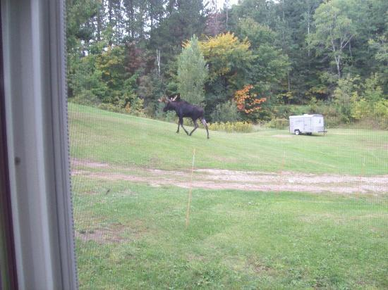 Newberry, MI: Moose Outside of Cabins