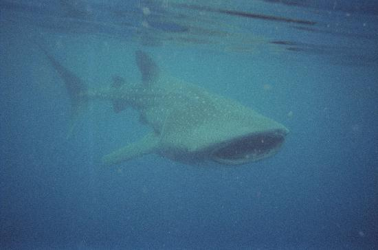 Holbox Whale Shark Tours: This was a small one