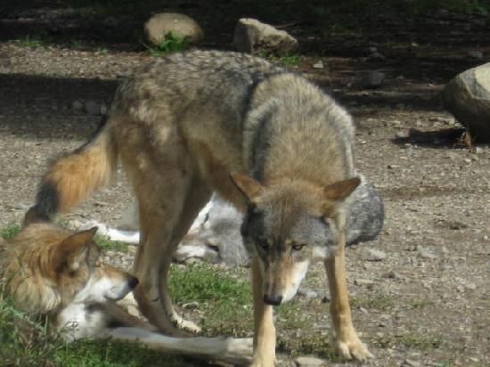 International Wolf Center Image