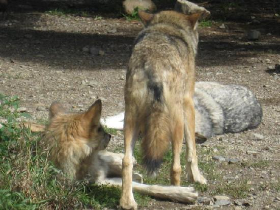 International Wolf Center: Pictures are worth a 1000 words.