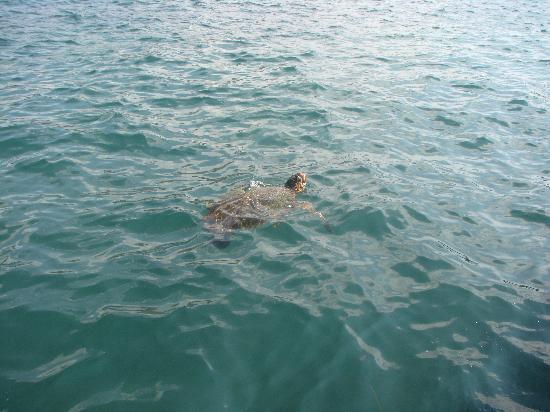 San Giorgio: Turtle in harbour