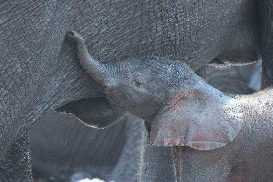 Water Lily Lodge: Baby Elephant just crossed the River
