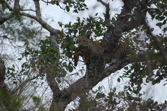 Lion Sands - Tinga Lodge: Leopard with kill in tree at our door