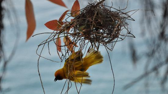 Tame Weaver Birds Building Nest By The Bathroom Picture Of Mumbo