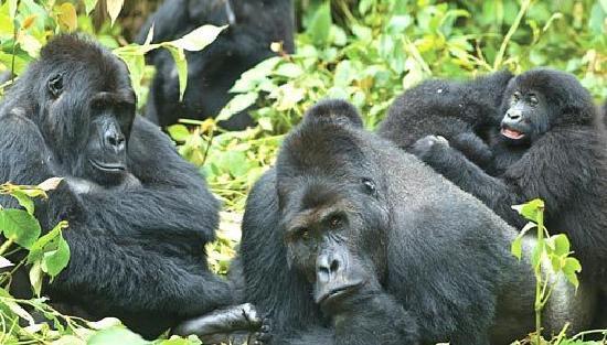Uganda: Gorillas in Bwindi impenetrable Forest
