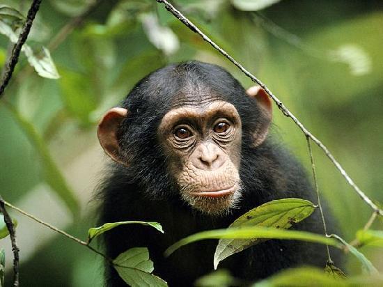 Uganda: Chimps in Queen Elizabeth National Park