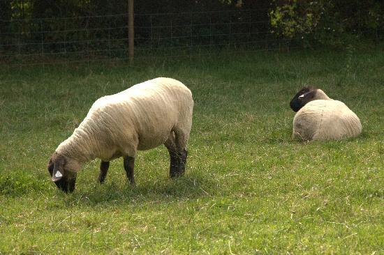 Aaronbeg Bed and Breakfast: sheep grazing next to B&B