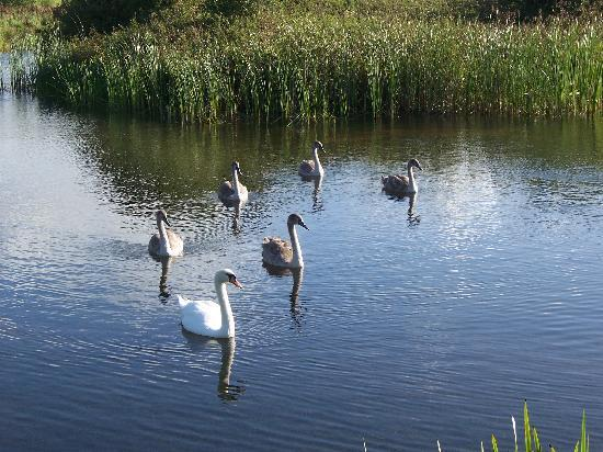 Tyn Rhos Country House: The swans in the fishing lake