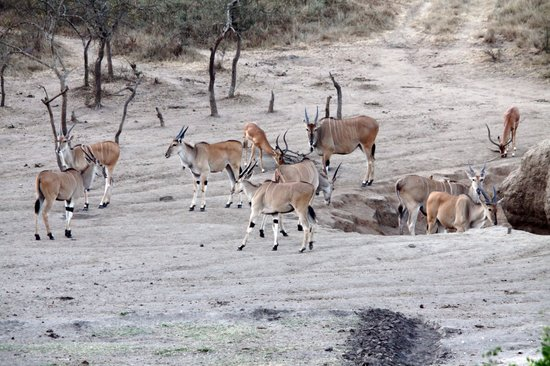Lake Mburo National Park, Uganda: Eland antilopes at the waterhole