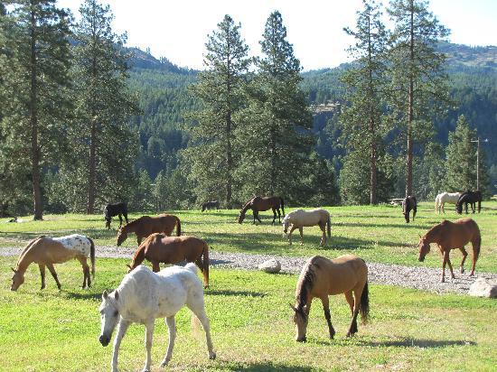 K-Diamond-K Guest Ranch: bringing the horses to the barn