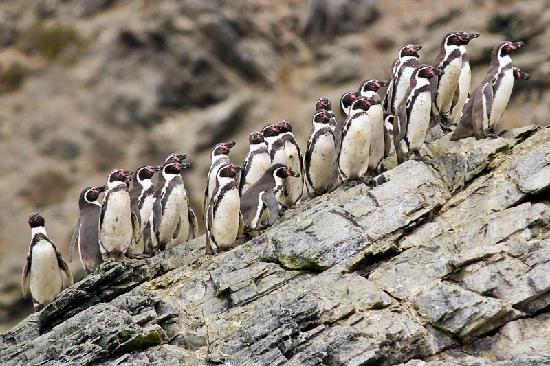 Lima, Peru: Hasta pinguinos de Humboldt.. durante esta travesia!!!